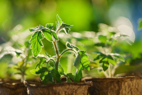 Несколько простых советов для тех, кто решил выращивать рассаду овощей самостоятельно  https://gadanie-test.ru/ рассада помидор
