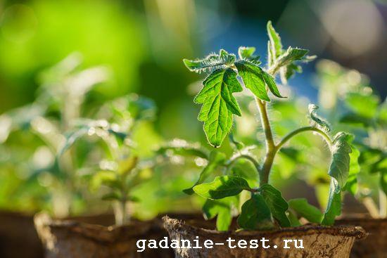 Несколько простых советов для тех, кто решил выращивать рассаду овощей самостоятельно  https://gadanie-test.ru/ рассада томатов
