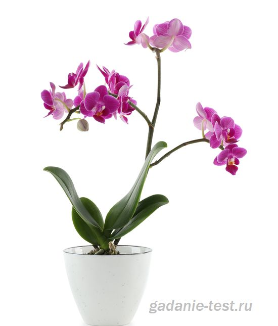 Орхидея  https://gadanie-test.ru/