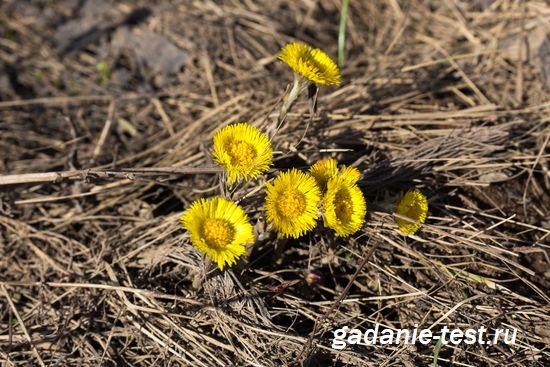 Примета -Появились цветы мать-и-мачехи