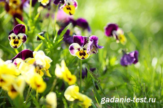 Примета - Зацветают виолы