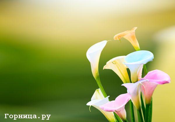 женский цветок счастья