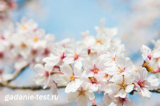 Примета - Вишня в цвету
